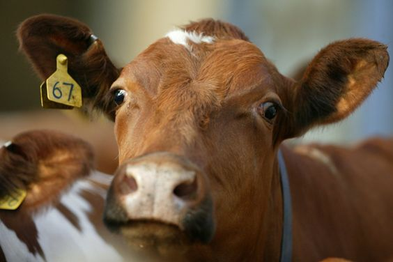 Cattle eartag to avoid stock theft